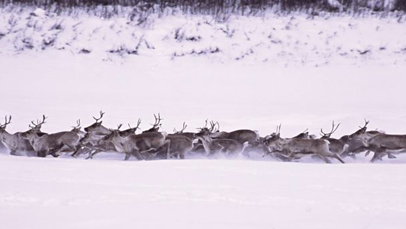 Being Caribou - image